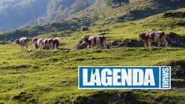 Transumanza mucche
