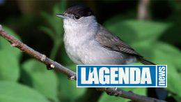 Capinera, Gli uccelli delle Alpi, Blu Edizioni