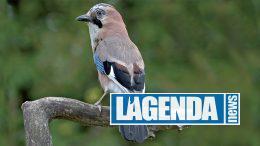 Ghiandaia, Gli uccelli delle Alpi, Blu Edizioni