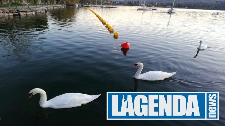 Lago di Avigliana cigni
