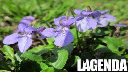 Viola mammola