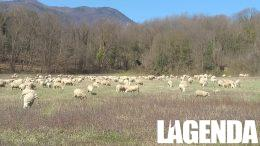 Parco Alpi Cozie pecore